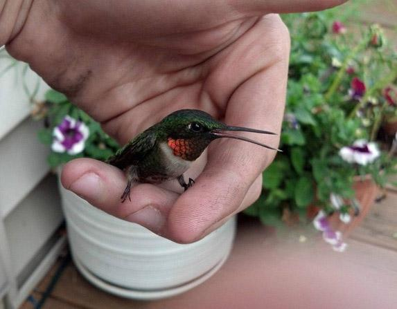 Hummingbird will start to seem less scary and more ... well … like a harmless little bird!